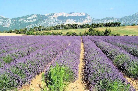 Les champs de lavande de provence - Le journal de provence ...